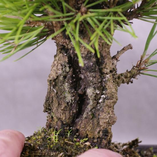 http://www.espritsdegoshin.fr/components/com_agora/img/members/2034/mini_PtcB01---Pinus-thunbergii-corticosa-Bonsai-Japon-03.jpg