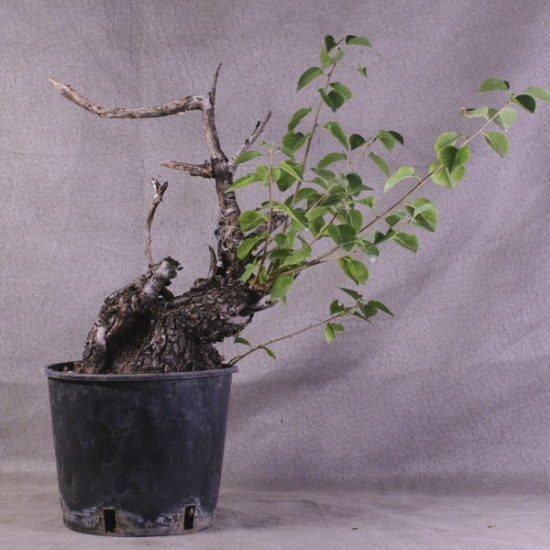 http://www.espritsdegoshin.fr/components/com_agora/img/members/2034/mini_Ste58---Prunus-mahaleb-Yamadori-01.jpg