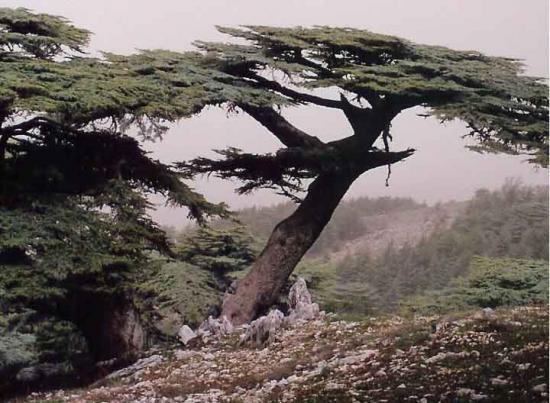 http://www.espritsdegoshin.fr/components/com_agora/img/members/2034/mini_cedar-of-lebanon-cedrus-libani.jpg