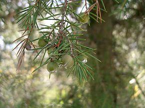 http://www.espritsdegoshin.fr/components/com_agora/img/members/2047/mini_290px-Juniperus-rigida2.jpg