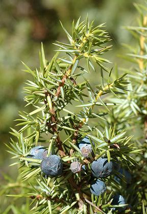 http://www.espritsdegoshin.fr/components/com_agora/img/members/2047/mini_juniperus-communis-nmk-25.jpg