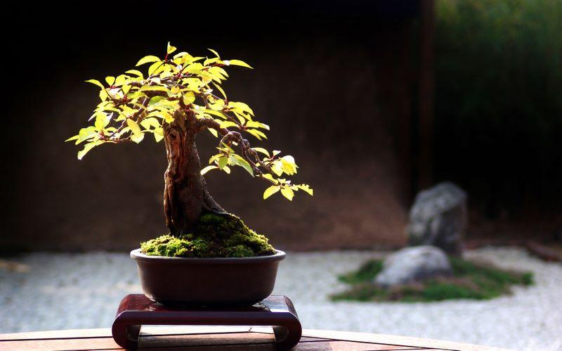 http://www.espritsdegoshin.fr/components/com_agora/img/members/2077/27012010-1545_bonsai.jpg