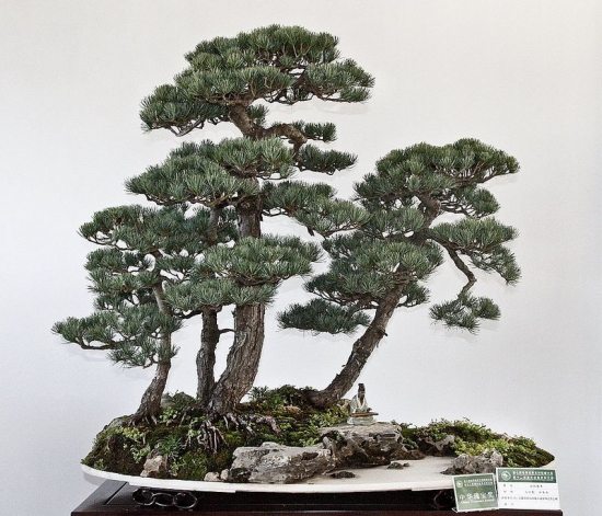 http://www.espritsdegoshin.fr/components/com_agora/img/members/2153/mini_13-pine-penjing2.jpg