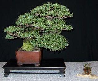 http://www.espritsdegoshin.fr/components/com_agora/img/members/2174_bonsai_197_172.jpg