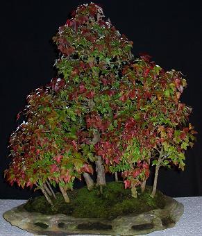 http://www.espritsdegoshin.fr/components/com_agora/img/members/2175_bonsai_166.jpg