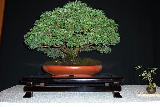 http://www.espritsdegoshin.fr/components/com_agora/img/members/2176_bonsai_157.jpg