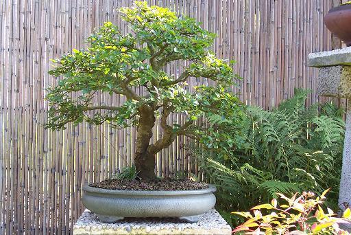 http://www.espritsdegoshin.fr/components/com_agora/img/members/2177_bonsai_139.jpg