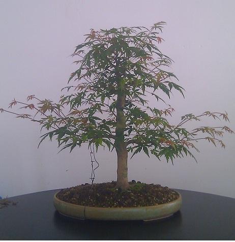 http://www.espritsdegoshin.fr/components/com_agora/img/members/2193/mini_gros-palmatumus-evo.jpg