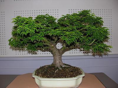 http://www.espritsdegoshin.fr/components/com_agora/img/members/2345/expo-bonsai-005-opt.jpg