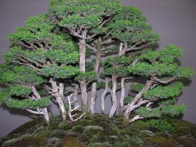 http://www.espritsdegoshin.fr/components/com_agora/img/members/2345/expo-bonsai-024-opt.jpg