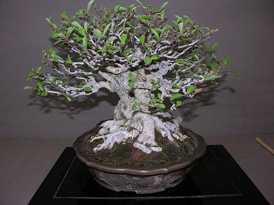 http://www.espritsdegoshin.fr/components/com_agora/img/members/2345/expo-bonsai-026-opt.jpg