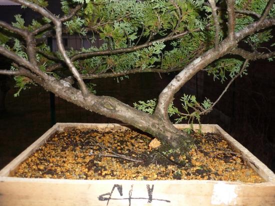 http://www.espritsdegoshin.fr/components/com_agora/img/members/2362/mini_juniperus-communis-racinaire.jpeg