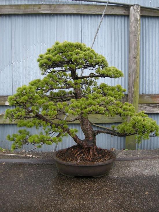 http://www.espritsdegoshin.fr/components/com_agora/img/members/2379/mini_Pinus-Udo.jpeg