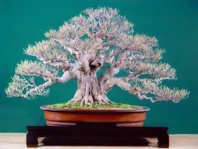 http://www.espritsdegoshin.fr/components/com_agora/img/members/2392/Ficus--80cm.jpg