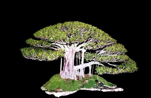 http://www.espritsdegoshin.fr/components/com_agora/img/members/2392/ed-Ficus-nerifoliaa.jpg