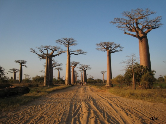 http://www.espritsdegoshin.fr/components/com_agora/img/members/2455/med-l-allee-de-baobabs-visoflora-5823.jpg