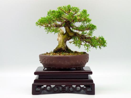http://www.espritsdegoshin.fr/components/com_agora/img/members/3007/mini_juniperus-chinensis-itoigawa2.jpg