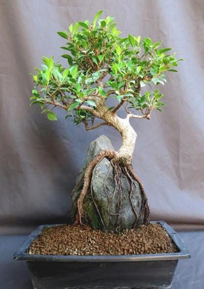 http://www.espritsdegoshin.fr/components/com_agora/img/members/3262/mini_Ficus-retusa-4.jpg