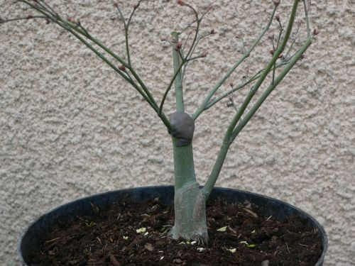 http://www.espritsdegoshin.fr/components/com_agora/img/members/32921_Travail_acer_little_princess_taille_branches_1.jpg