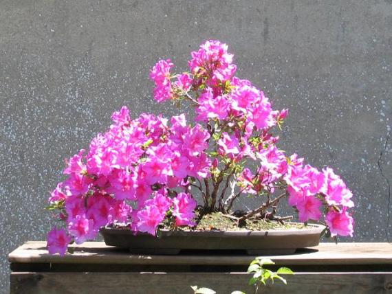 http://www.espritsdegoshin.fr/components/com_agora/img/members/35439_azal_e_japonaise_chelsoni_06_06_06_191.jpg_thumb