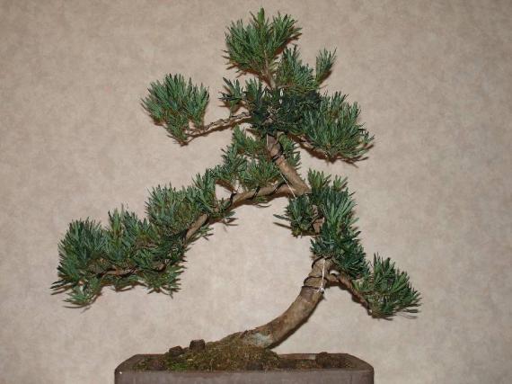 http://www.espritsdegoshin.fr/components/com_agora/img/members/35512_podocarpus_macrophylla-20ans-20050702-20_116.jpg_thumb