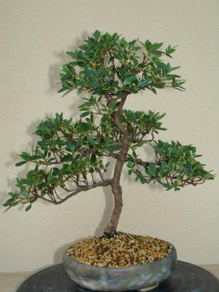 http://www.espritsdegoshin.fr/components/com_agora/img/members/35513_rhododendron_indicum_-_20051001-30_146.jpg_thumb