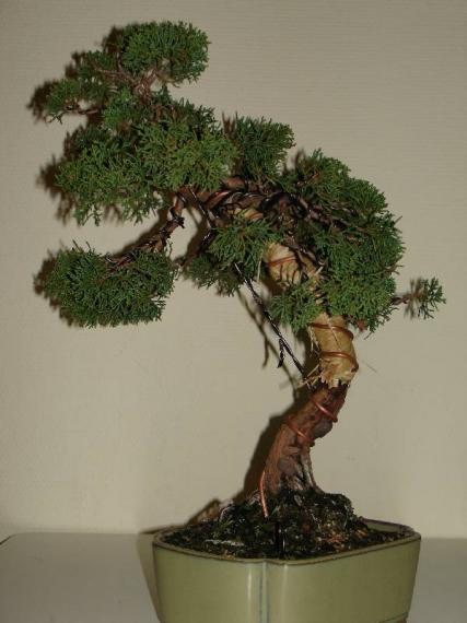 http://www.espritsdegoshin.fr/components/com_agora/img/members/35527_juniperus_chinensis-20051217-42_165.jpg_thumb