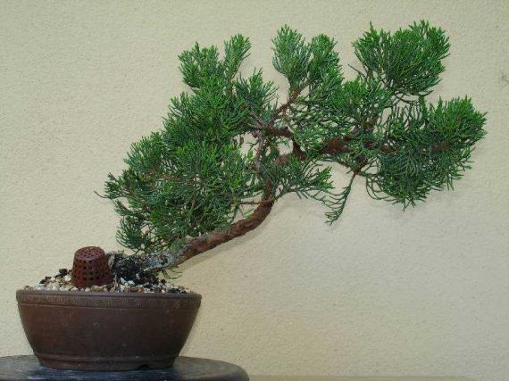 http://www.espritsdegoshin.fr/components/com_agora/img/members/35528_juniperus_kaizuka-20050809-13_198.jpg_thumb