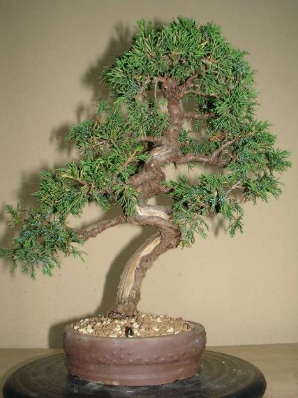 http://www.espritsdegoshin.fr/components/com_agora/img/members/35530_juniperus_sinensis_itoigawa_-_20051001-46_139.jpg_thumb