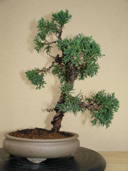 http://www.espritsdegoshin.fr/components/com_agora/img/members/35535_juniperus_chinensis-2-20050524-18_136.jpg_thumb