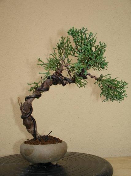 http://www.espritsdegoshin.fr/components/com_agora/img/members/35537_juniperus_chinensis-3-20050729-17_197.jpg_thumb