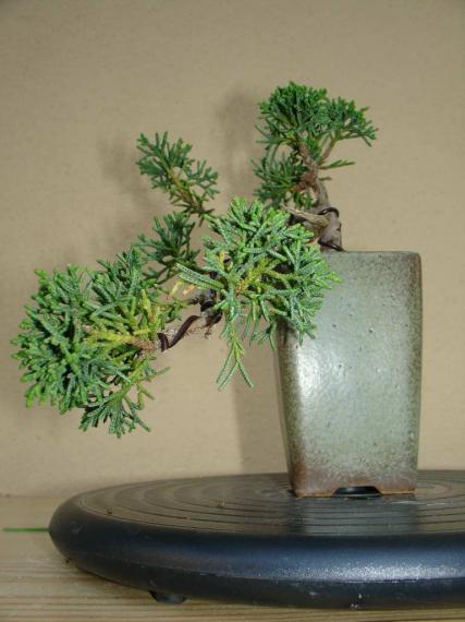 http://www.espritsdegoshin.fr/components/com_agora/img/members/35959_juniperus_chinensis-20060630-02_151.jpg_thumb