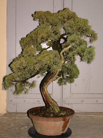 http://www.espritsdegoshin.fr/components/com_agora/img/members/35963_Juniperus_chinensis-20070113-01.JPG_thumb