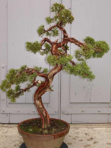 http://www.espritsdegoshin.fr/components/com_agora/img/members/35964_Juniperus_chinensis-20070113-19.JPG_thumb