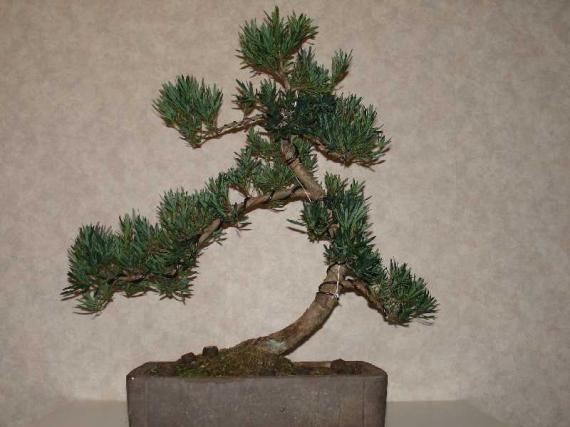 http://www.espritsdegoshin.fr/components/com_agora/img/members/37028_podocarpus_macrophylla-20ans-20050702-21_193.jpg_thumb