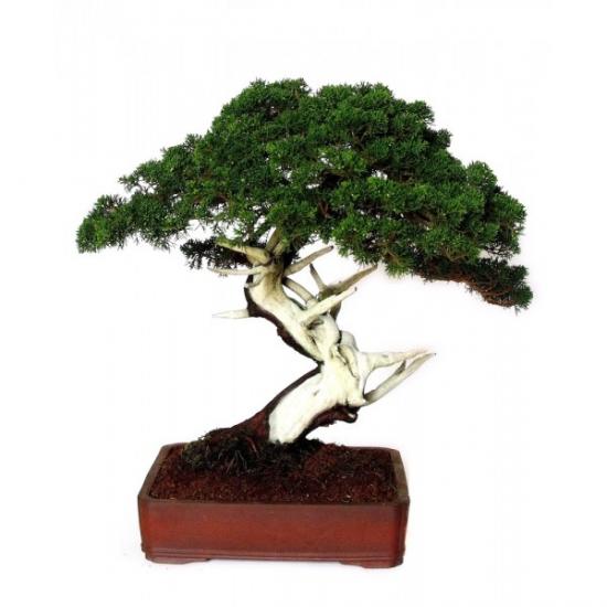 http://www.espritsdegoshin.fr/components/com_agora/img/members/3713/mini_bonsai-juniperus-chinensis-itoigawa-55-ans-exemplaire-63-cm-jcc002.jpg