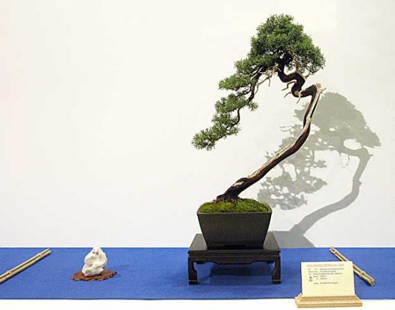 http://www.espritsdegoshin.fr/components/com_agora/img/members/38097_Juniperus-rigida.jpg_thumb