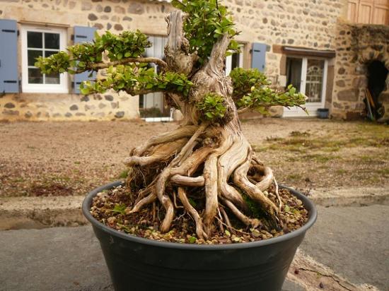 http://www.espritsdegoshin.fr/components/com_agora/img/members/3943/mini_09022014-2356_bonsai-a-vendre-076.jpg