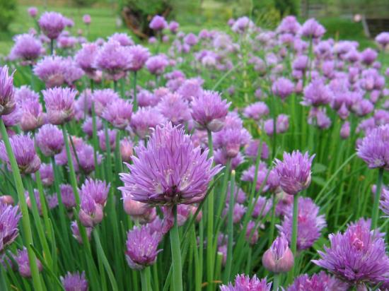 http://www.espritsdegoshin.fr/components/com_agora/img/members/3964/mini_Allium-schoenoprasum---CIBOULETTE.jpg