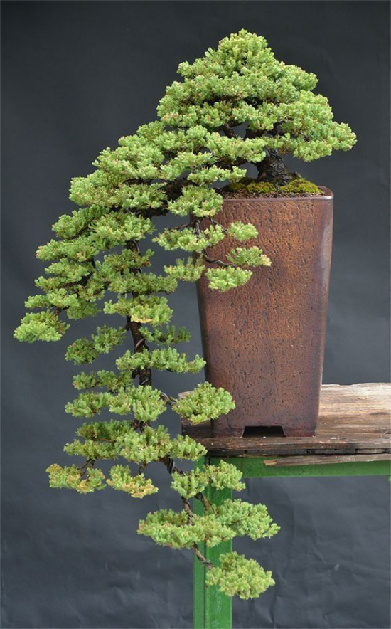 http://www.espritsdegoshin.fr/components/com_agora/img/members/4014/mini_828997c5c3d01b150cf068611f0b5919--bonsai-plants-bonsai-art.jpg