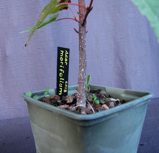 http://www.espritsdegoshin.fr/components/com_agora/img/members/4290/mini_acer-morifolium-191010b.jpg