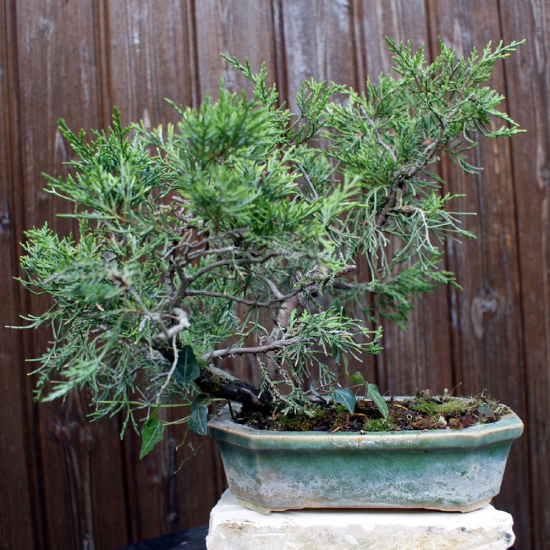 http://www.espritsdegoshin.fr/components/com_agora/img/members/4366/mini_Juniperus-D01.jpg