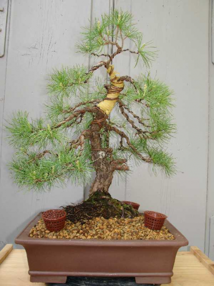 http://www.espritsdegoshin.fr/components/com_agora/img/members/44729_Pinus_Parviflora_30ans-20060526-44.JPG_thumb