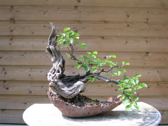 http://www.espritsdegoshin.fr/components/com_agora/img/members/45665_Prunus_mahaleb_Small.jpg_thumb
