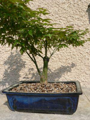 http://www.espritsdegoshin.fr/components/com_agora/img/members/46366_Acer_little_princess_en_feuille_le_1er_mai_2007_002_small.jpg