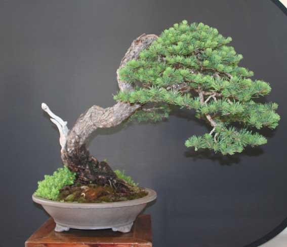 http://www.espritsdegoshin.fr/components/com_agora/img/members/50991_Pinus-sylvestris-4.jpg