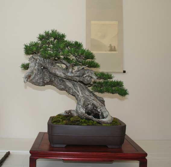http://www.espritsdegoshin.fr/components/com_agora/img/members/50992_Pinus-uncinata-1.jpg