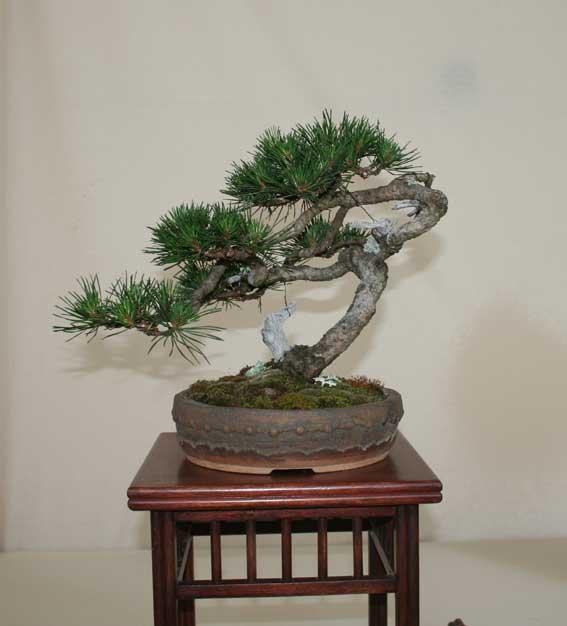 http://www.espritsdegoshin.fr/components/com_agora/img/members/50993_Pinus-uncinata-2.jpg