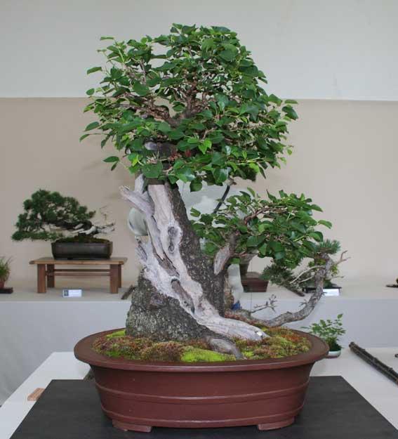 http://www.espritsdegoshin.fr/components/com_agora/img/members/50994_Prunus-Mahaleb.jpg