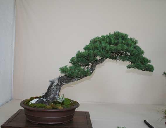 http://www.espritsdegoshin.fr/components/com_agora/img/members/50999_Pinus-sylvestris.jpg